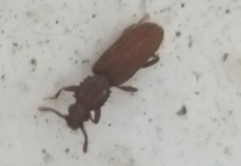 Sawtooth Grain Beetle What S That Bug