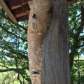 Carton Wasp Nest