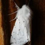 Vestal Tiger Moth
