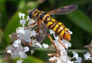 Yellow Jacket Hover Fly, AKA Good News Bee