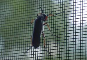 Blister Beetle we believe