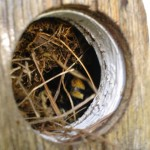 Bumble Bee Nest in Bird House