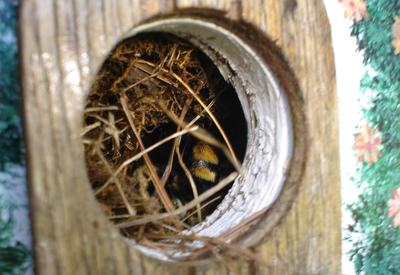 Bumble Nest in Bird House - What's That Bug?
