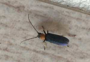 Unknown Longhorned Borer Beetle