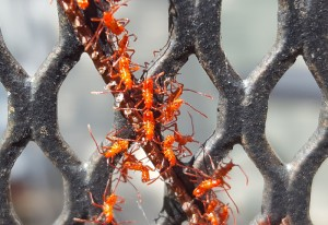Leaf Footed Bug Hatchlings