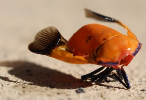 Remains of a Cotton Harlequin Bug