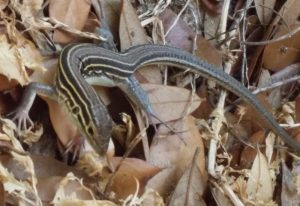 Six Lined Racerunner, we believe