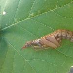 Dobsonfly Pupa