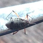 Giant Willow Aphid