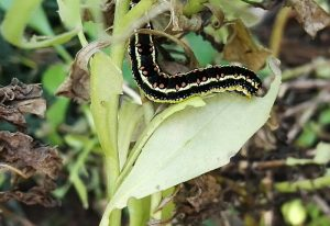 Hooded Owlet Moth Caterpillar