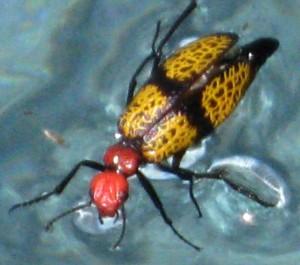 Iron Cross Blister Beetle: Feel the Bern