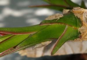 Immature Leafhoppers