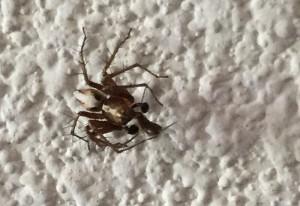 Male Lynx Spider