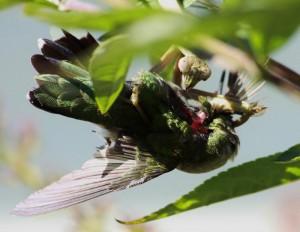 If Hillary was a Bug: Mantis Eats Hummer.