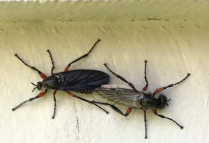 Mating March Flies