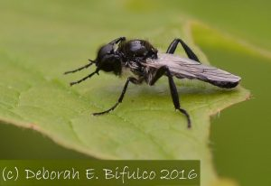 Male March Fly
