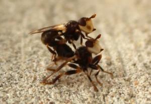 Mating Tiny Flies