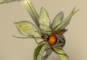 Plant Bug:  Closterocoris amoenus