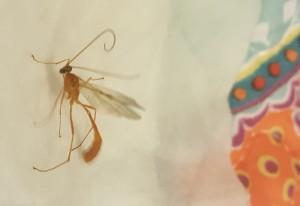 Stinging Ichneumon