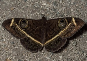 Cream Striped Owl Moth