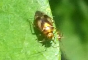Plant Bug: Possibly Orthops scutellatus