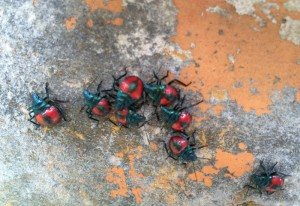 Florida Predatory Stink Bug Nymphs