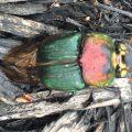 Female Rainbow Scarab
