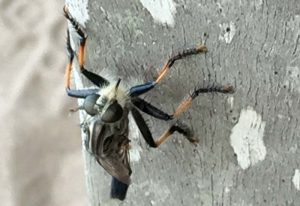 Male Robber Fly