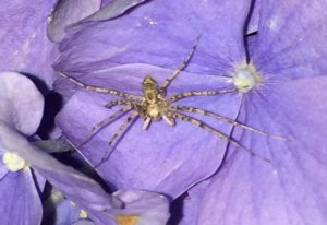 Running Crab Spider, we believe