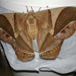 Giant Silkmoth:  Rhescyntis hippodamia norax