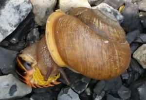 Predatory Snail Eats Millipede