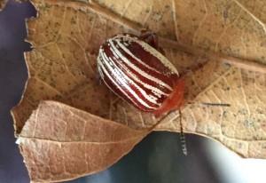 Sumac Flea Beetle