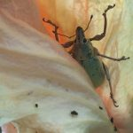 Weevil and Aphids