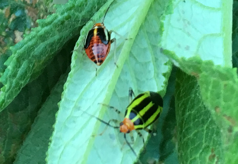 Four Lined Plant Bug Adult And Nymph What S That Bug