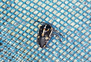 African Painted Bug