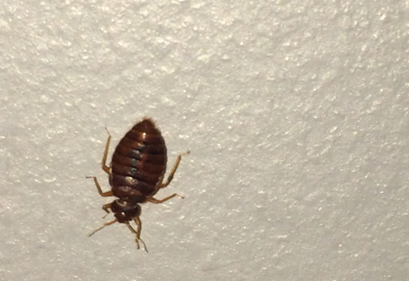 bed bug in ireland what39s that bug With bed bugs ireland
