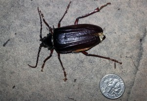 California Root Borer