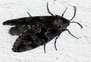 Carpenter Worm Moth