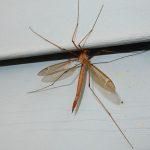 Possibly Tiger Crane Fly