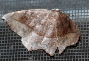 Possibly Curve-Toothed Geometer