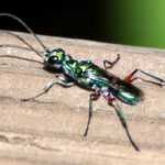 Emerald Cockroach Wasp