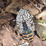 Eyed Tiger Moth