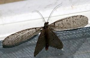 Female Fishfly (Filiform Antennae)