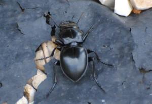 Fierce Ground Beetle