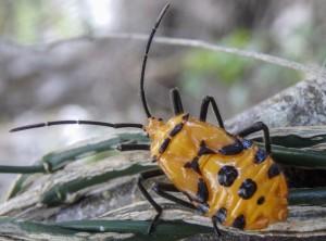 Giant Milkweed Bug Nymph