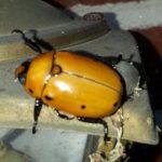 Grapevine Beetle