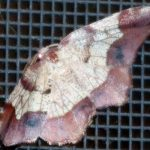 Possibly Horned Spanworm Moth