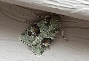Laudable Arches Moth