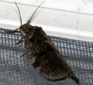 Male Fishfly (Pectinate Antennae)