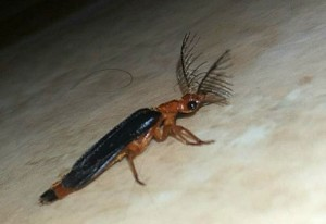 Male Glowworm
